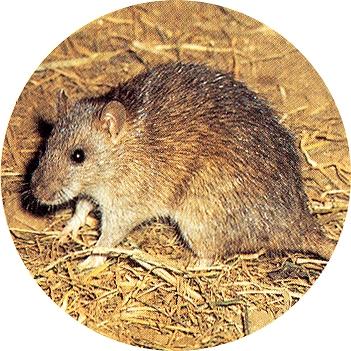 Fotografía de la rata castaña