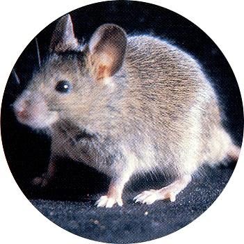 Fotografía del ratón