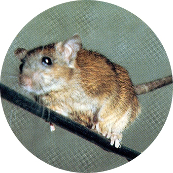 Fotografía de la rata del tejado