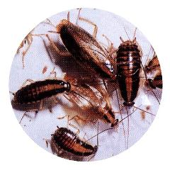 Fotografía de la cucaracha alemana