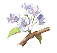 Ilustración de la pera de la flor del pupilo