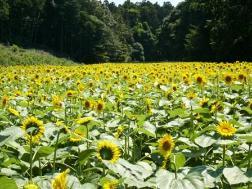 Photograph of sunflower field of Oiwake, arrow finger Shimin-no-Mori