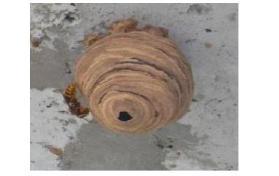 スズメバチの中期巣