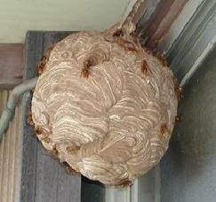 スズメバチの巣(最盛期)