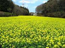 Field mustard of Oiwake Shimin-no-Mori