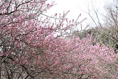 Flower Hana peach of ward
