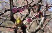 Flower and Japanese white-eye of plum