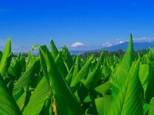 Fuji de un campo de Termeric y los primeros snowcap