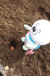 Tortuga Taro que entierra la bombilla del tulipán en la tierra