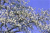 """Imagen del árbol de Kanagawa Pupilo """"puño"""""""