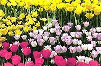 """神奈川區的花""""鬱金香""""的圖片"""