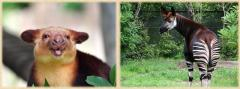 セスジキノボリカンガルーとオカピの画像