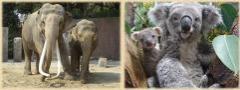 Imagen de un elefante indio y el oso marsupial