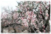 Image (plum) of Okurayama enjoying ume blossom society