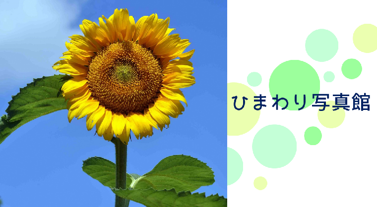 Sunflower photo studio