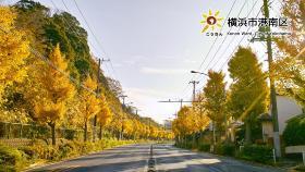 成排的日野公園墓地附近的銀杏樹