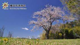 上永谷綠地的1棵櫻花
