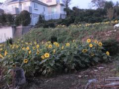 Photograph of Uchikura gardening 2
