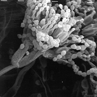곰팡이의 전자현미경 사진의 이미지