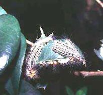 Fotografía larval de .....