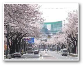 """""""We expect Tokaichiba intersection direction near cherry blossoms - ring form Route 4 Tokaichiba Station that met cherry blossoms scenery - full bloom of Tokaichiba"""""""