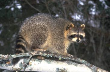 Photograph of raccoon