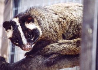 Photograph of palm civet