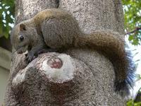 Photograph of Kurihara squirrel (Taiwan squirrel)
