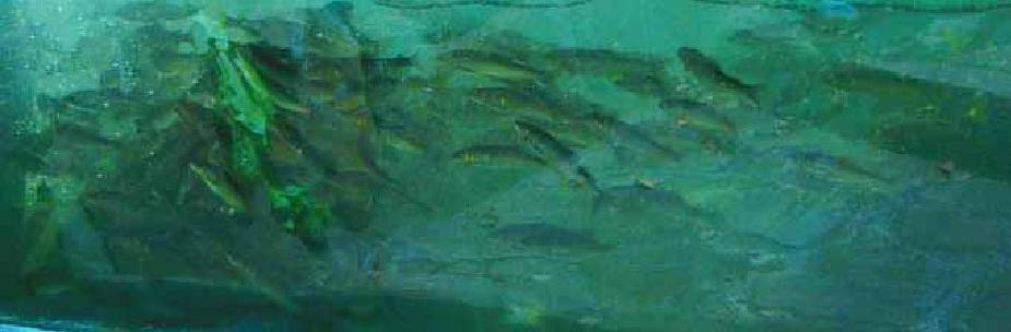 Sweetfish which gathers around bait