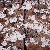 Photograph of American dogwood