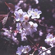 Photograph of wild cherry tree