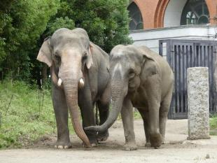 The front photograph of Indian elephant of two male and female