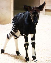 Fotografía del niño del okapi