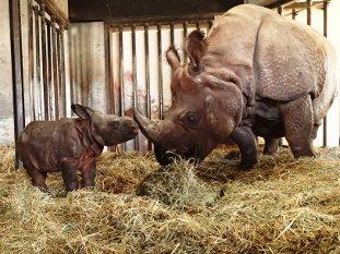 Fotografía de padre y niño del rinoceronte indio que está enfrente de nosotros adelante. paja