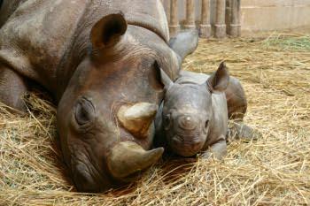 Fotografía de padre y niño del rinoceronte negro que empezó a discutir el frente