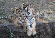 Fotografía del niño de tigre de la madre y dos