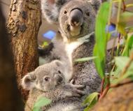 Fotografía del oso marsupial de la madre que sostiene a un niño