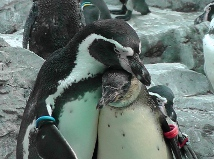 Fotografía del pingüino del padre que dibuja a su niño cerca de él
