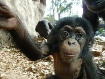 Fotografía del niño del chimpancé que parece aquí