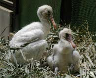 Photograph of two babies which there is in nest of black thulaspoonbill