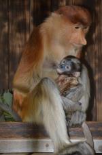 Fotografía del mono de probóscide de madre que sostiene a un niño