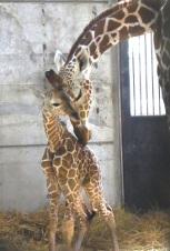 Fotografía de la jirafa de la madre que pone la propia cara fácilmente en la cara del niño