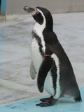Photograph of Humboldt penguin