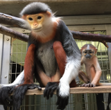Photograph of parent and child of dirt reed doek langur