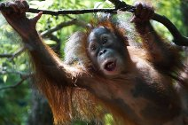 Photograph of child of orangutan
