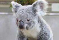 Photograph of koala
