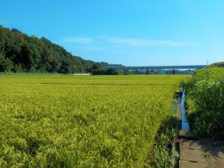 Rice field (Totsuka Ward) in the city