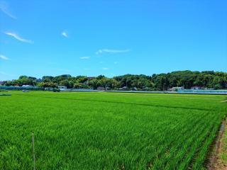 Rice field (Midori Ward) in the city