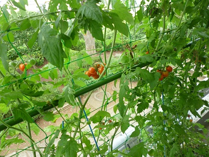 Fotografía de los tomates de cereza de cortina verdes