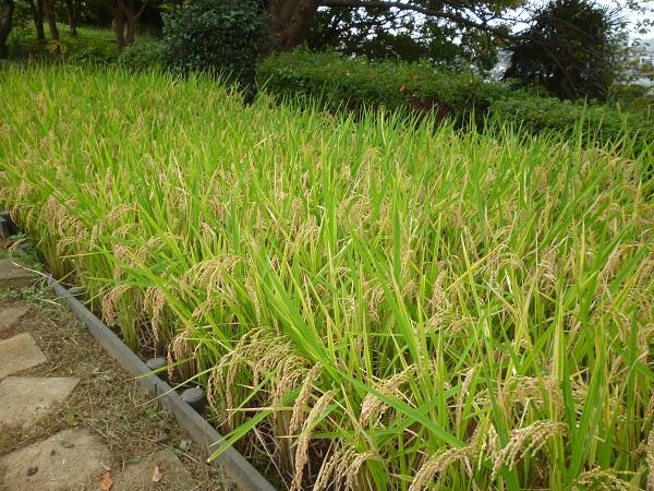 Fotografía del arroz